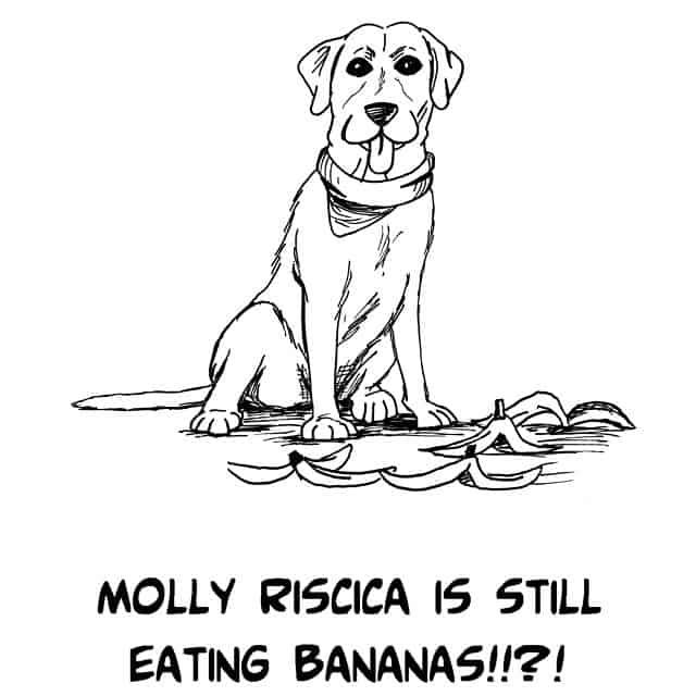 labrador eating bananas