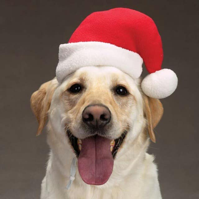 A dog with a Christmas hat